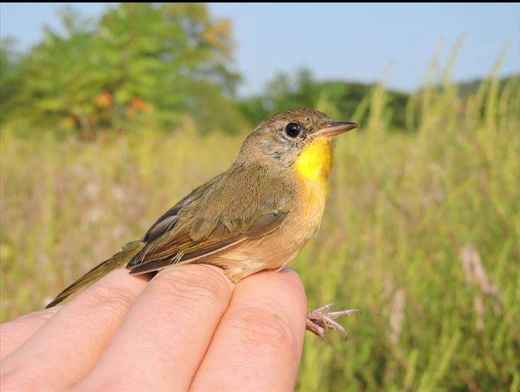 Common yellowthroat female