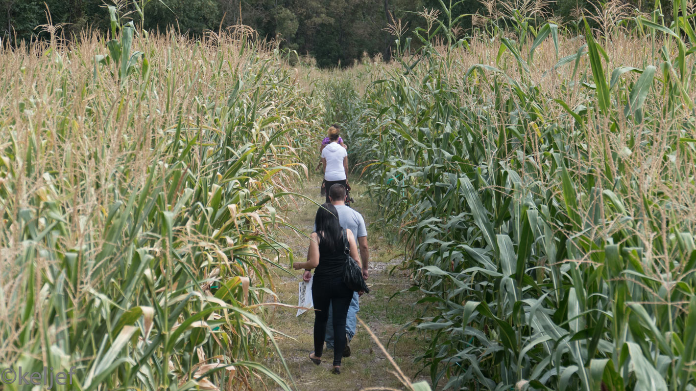 Howell Farm corn maze