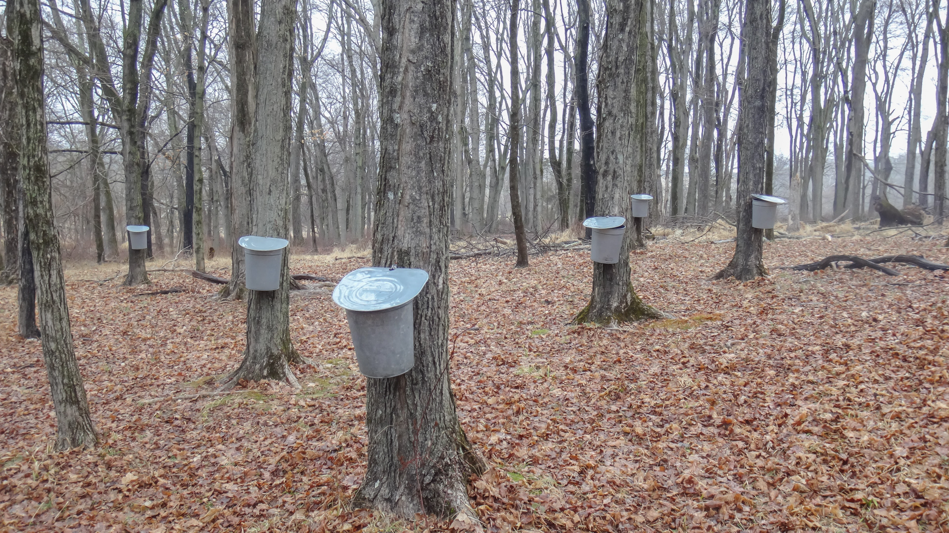 Sap buckets at Howell Farm